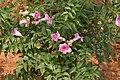 Podranea ricasoliana (Pink Trumpet Vine) in Hyderabad W IMG 5685.jpg