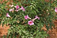 Podranea ricasoliana (Pink Trumpet Vine) in Hyderabad W IMG 5685
