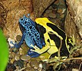 Poison Dart Frogs.jpg