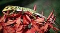 Polychrus marmoratus - Ixora coccinea.jpg