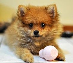 Pomeranian Pup.JPG