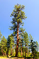 Ponderosa Pine Tree (Deschutes County, Oregon scenic images) (desDB3241).jpg