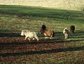 Ponies in a field, Doncombe Lane - geograph.org.uk - 1125911.jpg