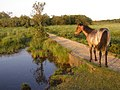 Pony on the causeway, Penny Moor, New Forest - geograph.org.uk - 206686.jpg