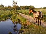 File:Pony on the causeway, Penny Moor, New Forest - geograph.org.uk - 206686.jpg