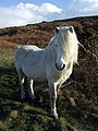 Pony with a fringe on top - geograph.org.uk - 1151872.jpg
