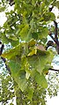 Populus heterophylla foliage, East Potomac Park.jpg