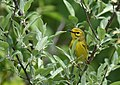 Portrait of a Female Prairie Warbler (47009244344).jpg