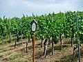Portugieser, Seine Herkuft ist weitgehend ungeklärt. In Deutschland wird der blaue Portugieser seit etwa 1840 angepflanzt. Er entwickelte sich hier schnell zu einem der beliebtesten Rotweine und ist heute nach dem Spä - panoramio.jpg