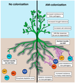 Positive effects of arbuscular mycorrhizal (AM) colonization.png