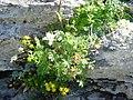 Potentilla alchimilloides with Saxifraga aizoides and Bistorta vivipara - 20050814.jpg