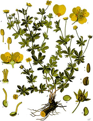 Phlobaphene - The common tormentil (Potentilla erecta)