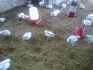 Broiler industry - Broiler chickens in a farm