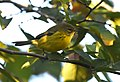 Prairie Warbler (documentation photos) (44921446802).jpg