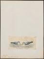 Prion vittata - 1820-1860 - Print - Iconographia Zoologica - Special Collections University of Amsterdam - UBA01 IZ17900128.tif