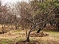 Prunus japonica 20090130.jpg
