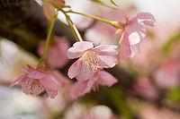 Prunus lannesiana cv. Kawazu-zakura 01.jpg