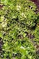 Pseudocyphellaria multifida3 by Peter de Lange.jpg
