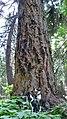 Pseudotsuga menziesii old growth tree in upper Entiat River.jpg