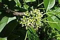 Ptelea trifoliata kz02.jpg