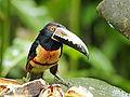 Pteroglossus torquatus (Collared aracari).jpg