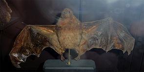 Pteropus subniger.jpg