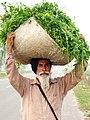 Punjabi sardar.jpg