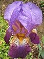 Purple-IrisPenu edit.jpg
