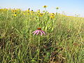 Purple Coneflower, Yellow Coneflower, Black-eyed Susan (12776326604).jpg