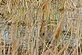 Purple Heron (Ardea purpurea) hidden in the reeds ... (25895657534).jpg