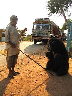 Tame bear - Image: Pushkar bear and handler