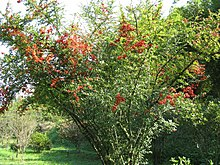 arbuste jardin
