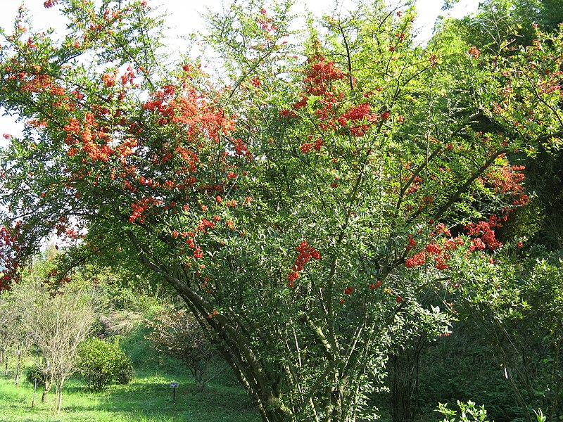 File pyracantha wikimedia commons for Arbol del fuego jardin