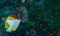 Pyramid Butterflyfish (Hemitaurichthys polylepis) (8481856148).jpg
