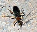 Pyrochroidae P1290480a.jpg