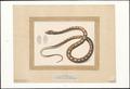 Python molurus - 1829 - Print - Iconographia Zoologica - Special Collections University of Amsterdam - UBA01 IZAA100021.tif