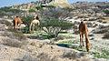 Qeshm Island camels.jpg