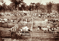 Queensland State Archives 2260 Stockyards with cattle at Merivale Station Maranoa District 1897.png