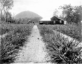 Queensland State Archives 2636 McLeans Farm Beerburrum January 1920.png