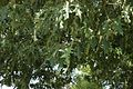 Quercus pagoda (23581145173).jpg