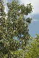 Quercus pagoda (24147194585).jpg