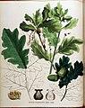 Quercus pedunculata — Flora Batava — Volume v16.jpg