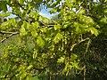 Quercus robur RF.jpg