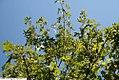 Quercus shumardii 4zz.jpg