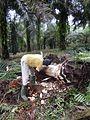 Récolte du vin de palme (Cameroun) (1).jpg