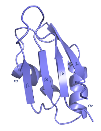 RNA recognition motif - Typical architecture of an RRM domain, with a four-stranded antiparallel beta-sheet, stacked on two alpha helices