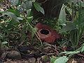 Rafflesia Kinabalu (2of2).JPG
