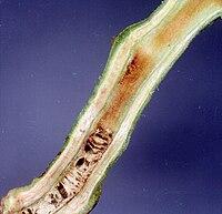 Ralstonia solanacearum symptoms.jpg