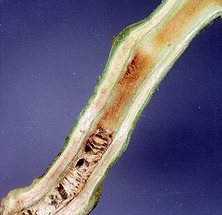 <i>Ralstonia solanacearum</i> species of bacterium