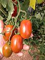 Ramo de tomate Zyrano.JPG